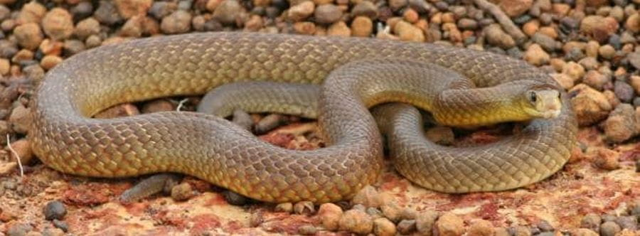 A western brown snake coiled up on red stones